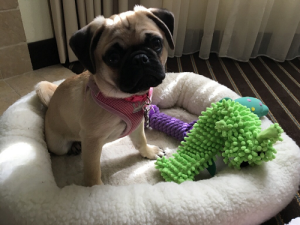 Ahold USA Pet Category Manager Becky Shipp's new pug, Allie